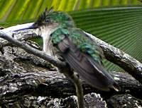 Colibri martiniquais